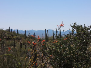 A view of the Saguaro National Park